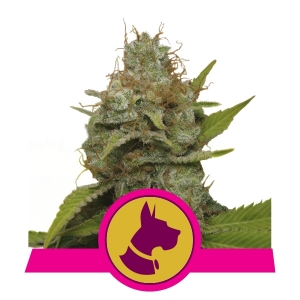 Kali Dog Feminized cannabis seeds
