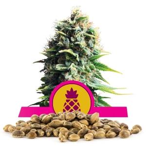 Pineapple Kush Bulk Semena