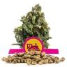 Candy Kush Express (Fast Flowering) Bulk Semena