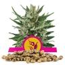 Speedy Chile (Fast Flowering) Bulk Semena