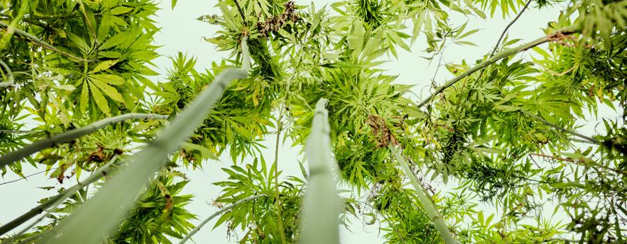 Konopná semena CBD dostupné právní