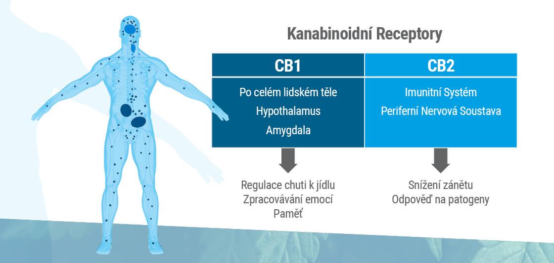 Endokanabinoidní systém se skládá ze dvou hlavních receptorů: CB1 a CB2