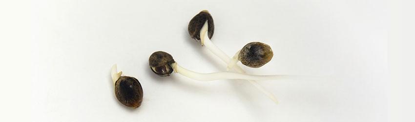 Výsledek obrázku pro klíčení semena konopí