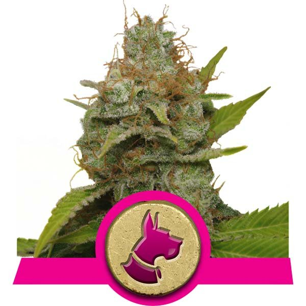 Kali Dog Royal Queen Seeds