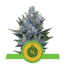 Royal Queen Seeds Northern Light Automatic Cannabis Cup Winner