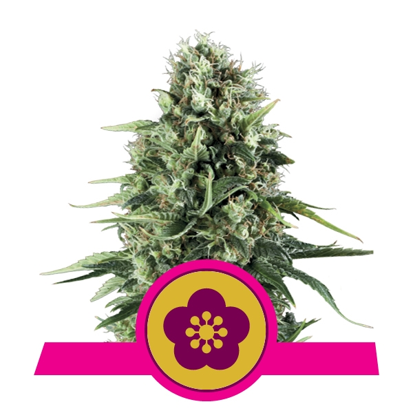 Power Flower Royal Queen Seeds
