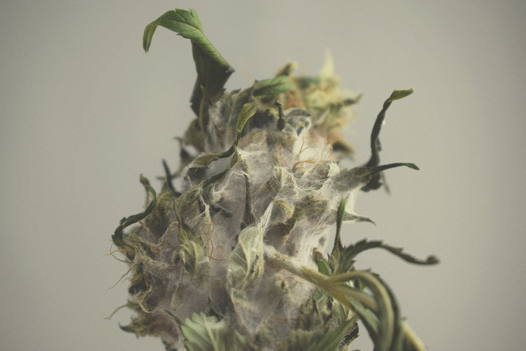 How to prevent and treat marijuana mold
