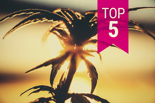 Top5 cannabis strains for warmer climates