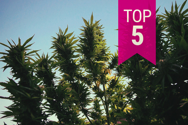 Top 5 outdoor strains