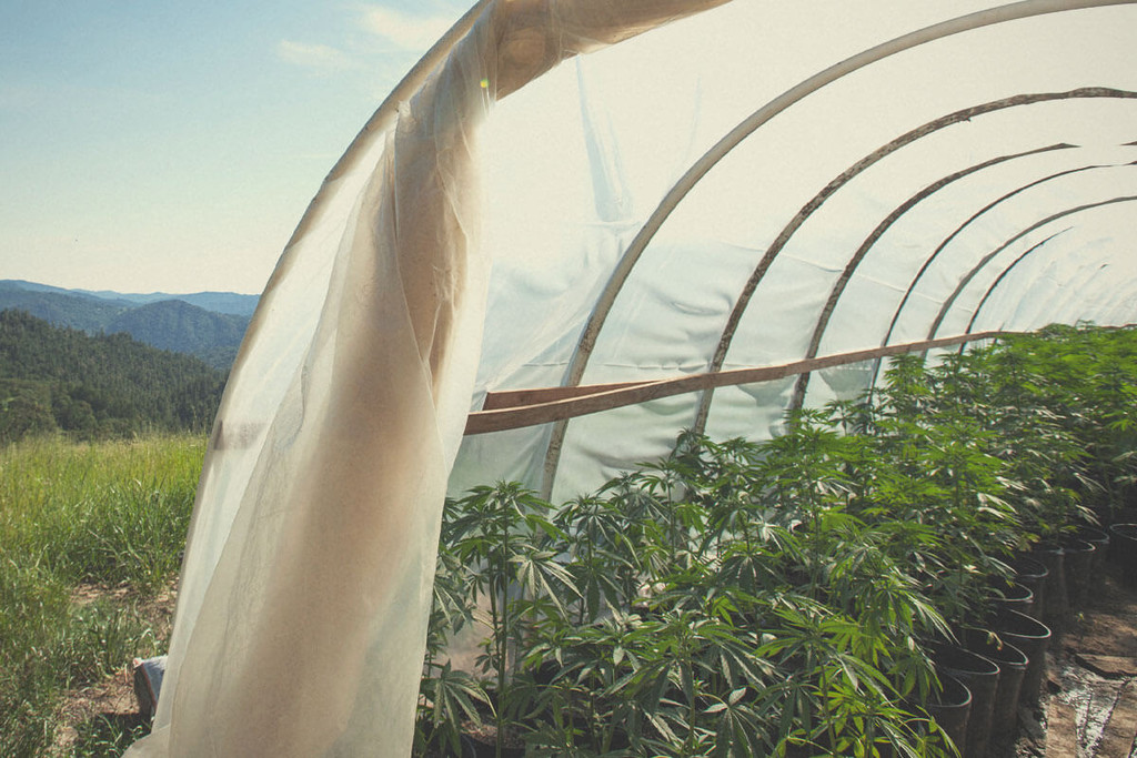 Growing Marijuana in a Greenhouse